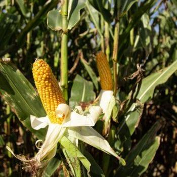 Midden vroege mais