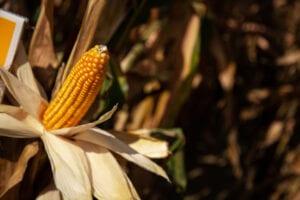 Zeer vroege mais